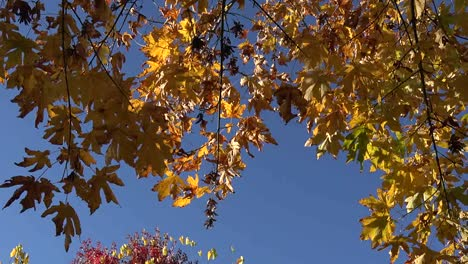 Autumn-Yellow-Leaves-Against-Blue-Sky-Pan