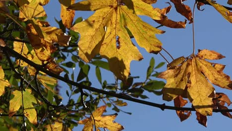 Autumn-Yellow-Leaves-And-Blue-Sky-Pan