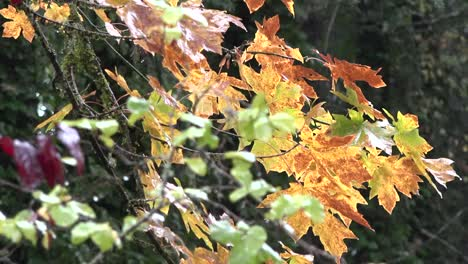 Autumn-Yellow-Leaves-In-The-Rain-Pan