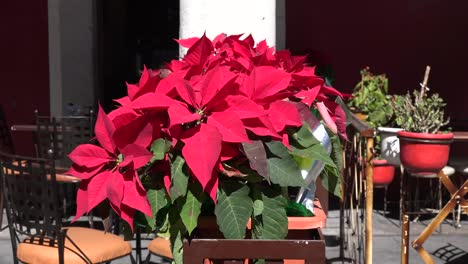 Christmas-Poinsettia-Zoom-In