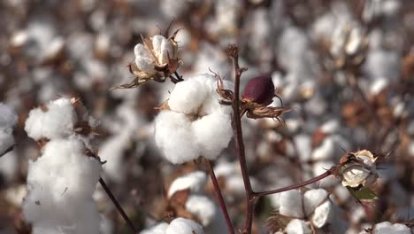 Cotton-Boll-Ripe-With-Bud