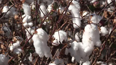 Cotton-Close-Up