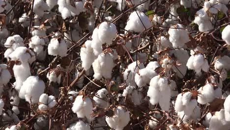 Cotton-Close-View-Of-Ripe-Boll
