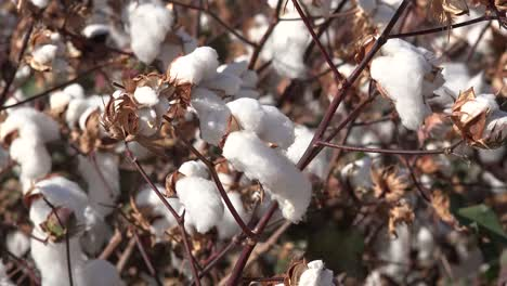 Cotton-In-Wind
