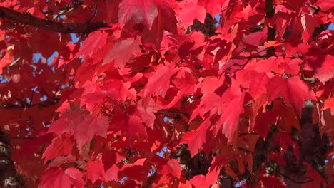Nature-Red-Leaves-In-The-Breeze-Pan
