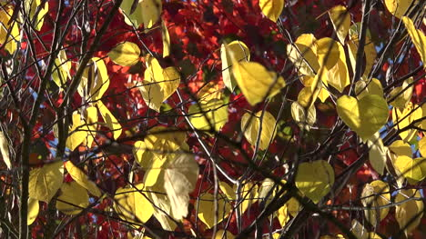 Nature-Yellow-Leaves-Against-Red-Leaves-Pan