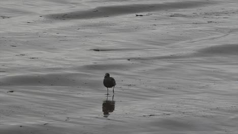 Oregon-Seagull-Walks-On-Beach