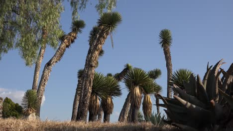 Mexico-Guanajuato-Giant-Yucca-And-Blue-Sky