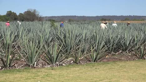 Mexico-Jalisco-Agave-Field-With-Men-Working