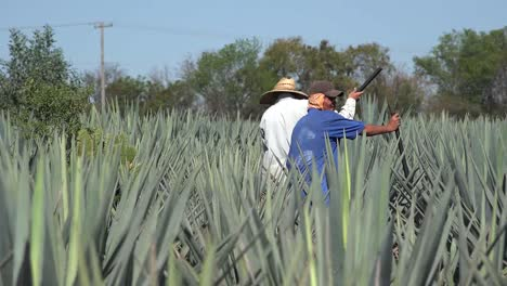 Mexico-Jalisco-Field-Workers-In-Agave-Zooms-Out