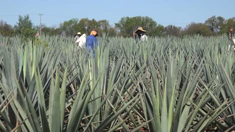 Mexico-Jalisco-Man-In-Red-Shirt-In-Agave-Field