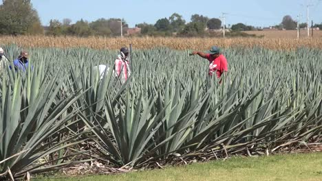 Mexico-Jalisco-Man-In-Red-Shirt-Works-In-Agave-Field