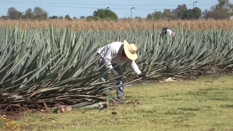 Mexico-Jalisco-Man-Tosses-Agave-Plant