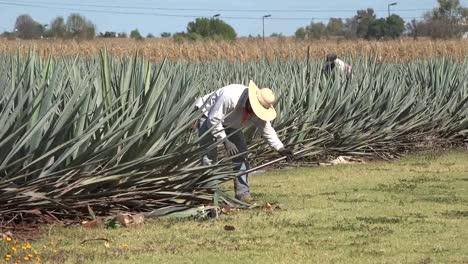 México-Jalisco-Hombre-Arroja-Planta-De-Agave