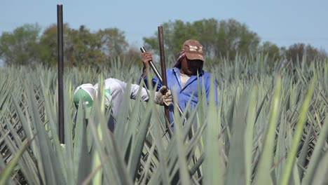 Mexico-Jalisco-Men-In-Agave-Field