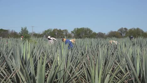 Mexico-Jalisco-Men-Working-Amid-Plants-In-Agave-Field