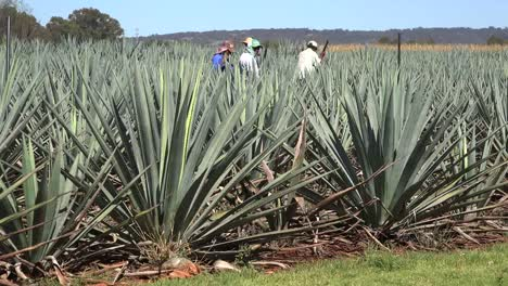 Mexico-Jalisco-Men-Working-In-Agave-Field