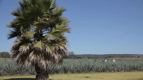 Mexico-Jalisco-Palm-Frames-Workers-In-Agave-Field