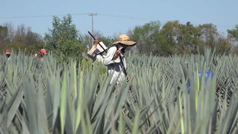 Mexico-Jalisco-Worker-In-Straw-Hat-In-Agave-Field