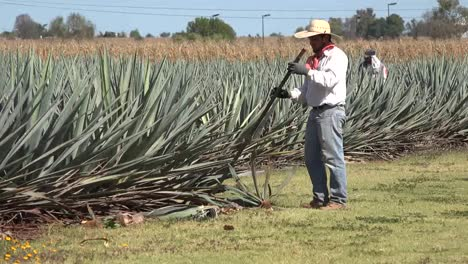 Mexico-Jalisco-Worker-Pulls-Out-Agave-Plant
