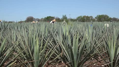 Mexico-Jalisco-Working-Amid-Agave-Plants-Zooms-In