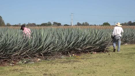 Mexico-Jalisco-Zooms-On-Man-Working-In-Agave-Field