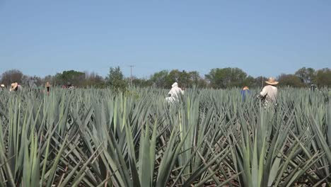 Mexico-Jalisco-Zooms-To-Workers-Amid-Agave-Plants