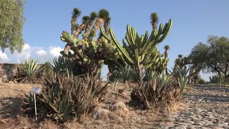 Mexico-Cacti-And-Yucca-Under-Blue-Sky