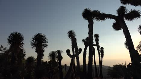 Mexico-Silouette-Of-Tall-Yucca-Plants