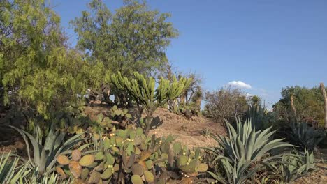 Mexico-Trees-And-Maguey-With-Cactus