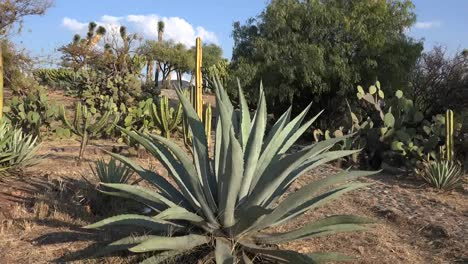 Mexico-Zooms-Out-From-Maguey
