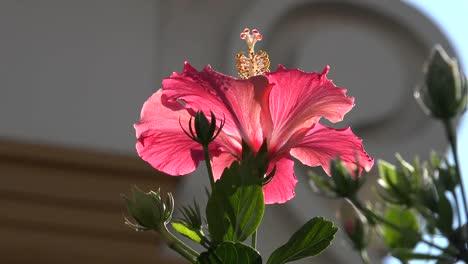Nature-Pink-Hibiscus