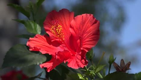 Nature-Red-Hibiscus