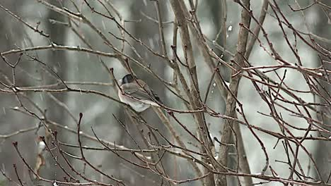 Oregon-Bird-On-Bush-In-Snow