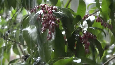 Rain-Falls-On-Pink-Buds-Sound