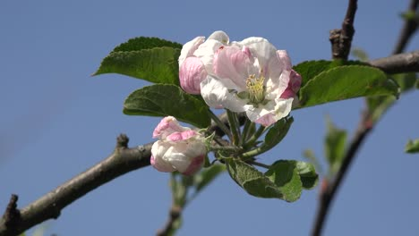 Blossom-Detail-In-Fruit-Orchard