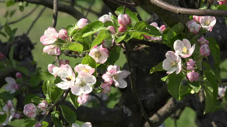 Cluster-Of-Fruit-Blossoms-In-Breeze