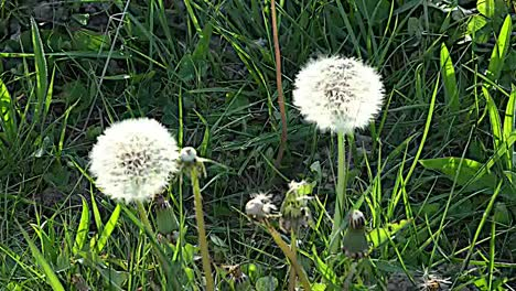 Dandelion-Seeds-In-Grass-Zoom-In