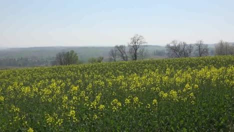 France-Alsace-Crop-Of-Yellow-Rapeseed-Flowers-And-Tree-Zooms-In
