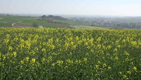France-Alsace-Crop-Of-Yellow-Rapeseed-Flowers