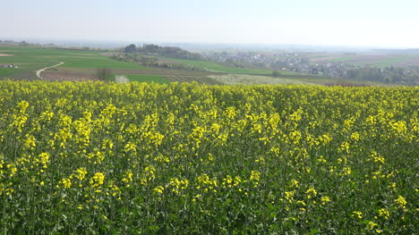 France-Alsace-Yellow-Rapeseed-Flowers-In-Field-Zoom-In