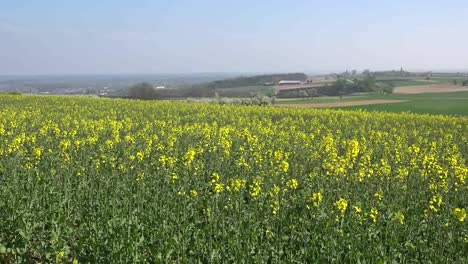 France-Alsace-Yellow-Rapeseed-Flowers-In-Field