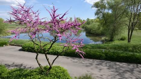 France-Flowering-Redbud-Tree-By-Pond