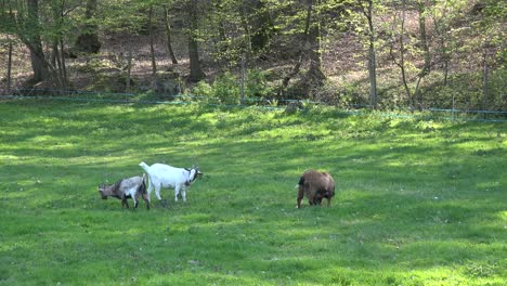 France-Goats-Eating-In-Meadow-By-Woods