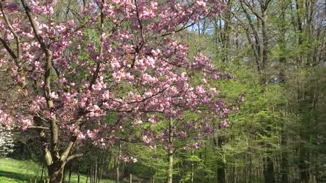 France-Tree-With-Pink-Flowers-Zooms-In
