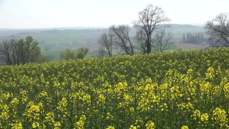 France-Yellow-Rapeseed-Crop-Blows-In-Wind