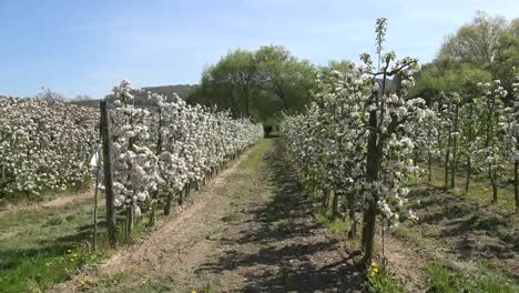 Germany-Fruit-Trees-In-Flower-Zoom-Down-Rows