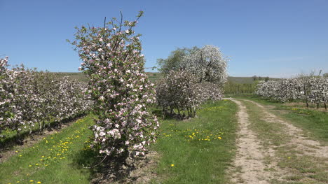Germany-Lane-In-Blooming-Fruit-Orchard