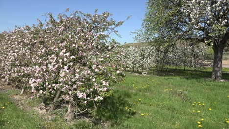 Germany-Orchard-In-Bloom-Zoom-In-To-Flower