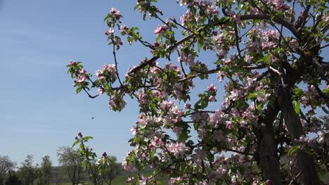 Germany-Pink-Flowers-On-Fruit-Tree